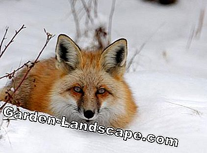 Lurking fox in the snow