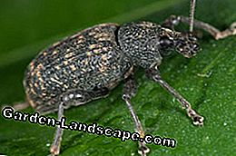 Dickemouth weevil fight tips