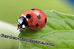 Lure ladybug in the garden