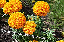 Roundworms in the garden - Tagetes helps