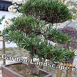 a bonsai-shaped yew (Taxus)