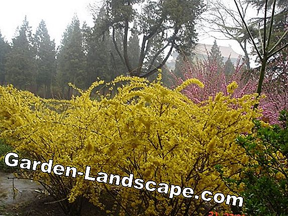 Forsythia wilts - causes and treatment tips