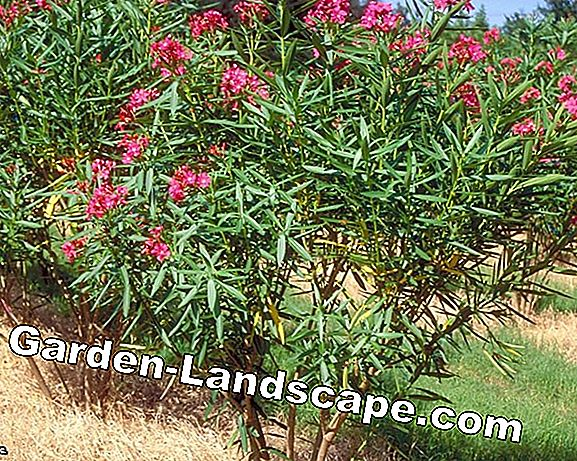 Oleander cut - instructions and tips for the right cut