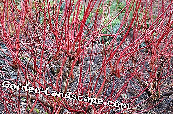 Tatar dogwood - plants, fertilize and cut