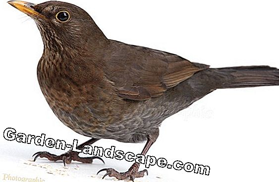 Blackbird, Turdus merula - Characteristics, breeding season and food in winter