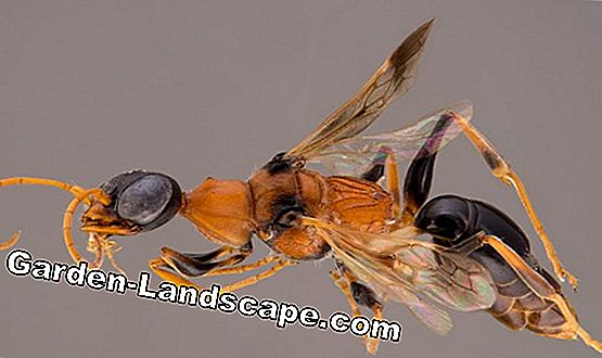 Wasp toxin: composition & immunization