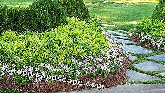 Boxwood - substrates for the boxwood