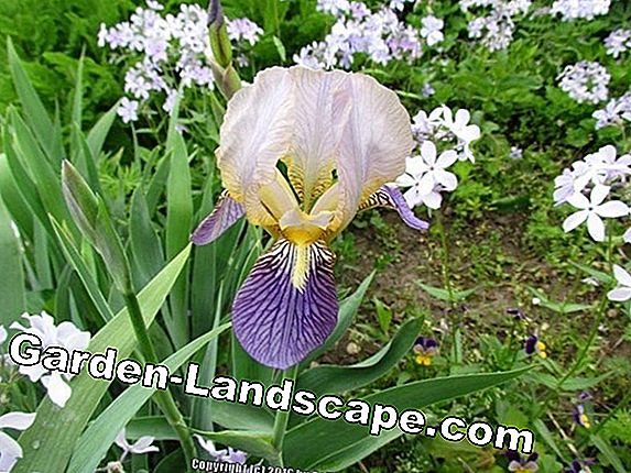 Low Bearded Iris: Large-flowered Dwarf