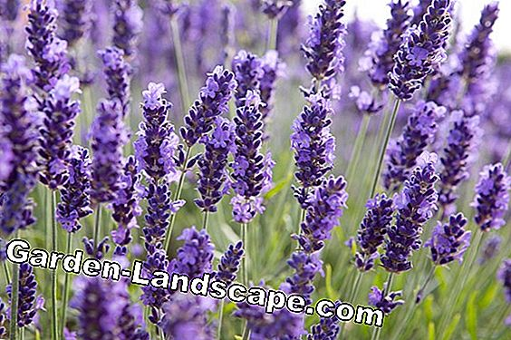 Increase lavender with cuttings