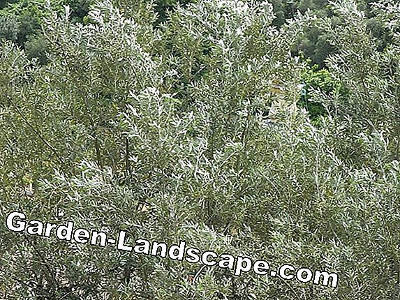 Olive weed - propagation, cutting and drying