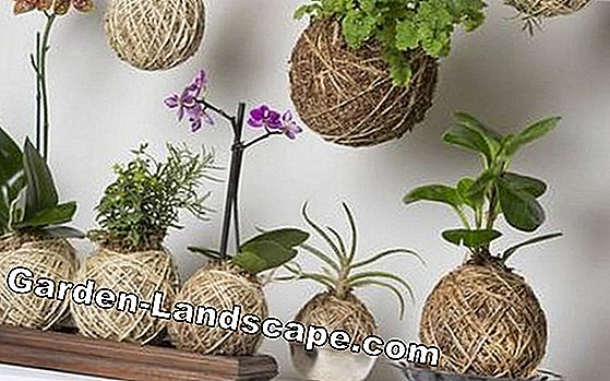Kokedama: The deco trend from Japan