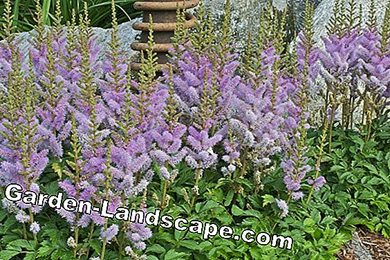 Astilbe, feathering - care, cutting and wintering