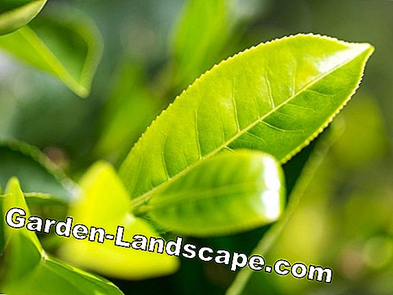 Australian tea tree care - Tips for keeping the bucket
