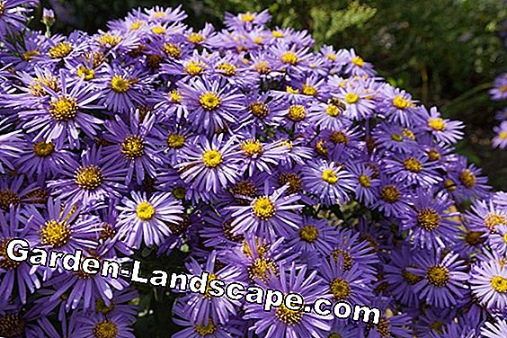 Herbstaster, Winteraster - Tips for Nursing, Cutting and Propagation
