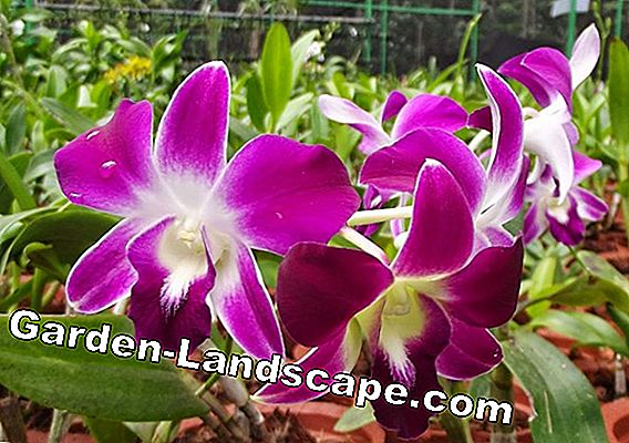 Farming orchid and wintering - Schizanthus / Spaltblume