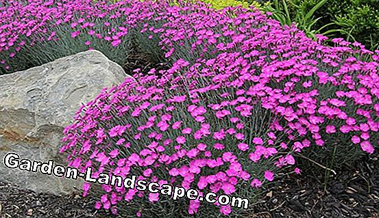 Japanese carnation - planting, cultivating & cutting back