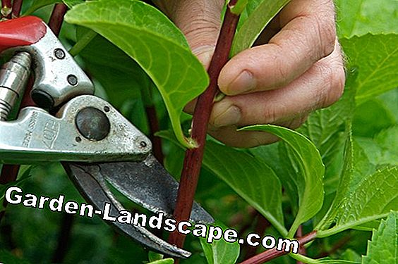 Cutting Bougainvillea - Timing & Instructions