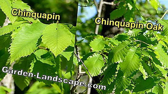 Chestnut tree propagate - 3 variants presented