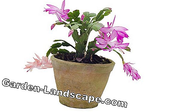 Christmas Cactus - repotting, multiplying with offshoots