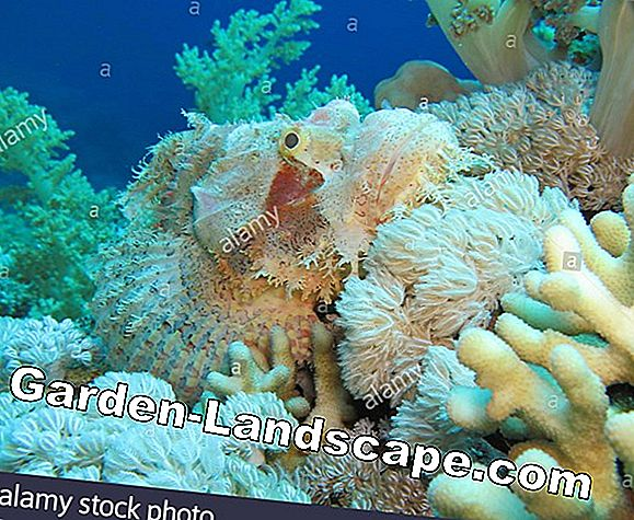 Scorpionfish, Dracocephalum moldavica - care and cut