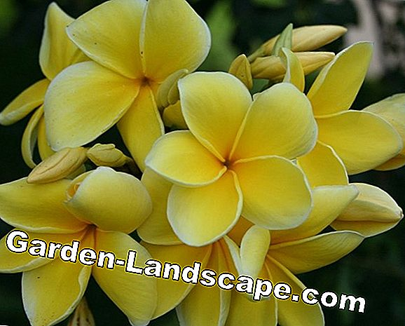 Frangipani, Plumeria Plants - Care and Variety Tips