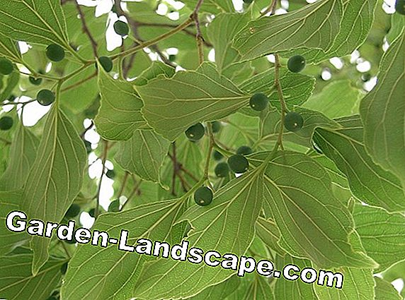 Hackberry, nettle tree, Celtis species, plants and care