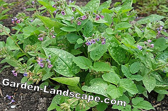 Lungwort, Pulmonaria officinalis - Care