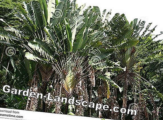 Palm Madagaskar: Keperawatan dan Perbanyakan - Is It Toxic?