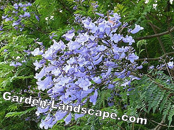 Rosewood Tree, Jacaranda Tree - Nursing Guide