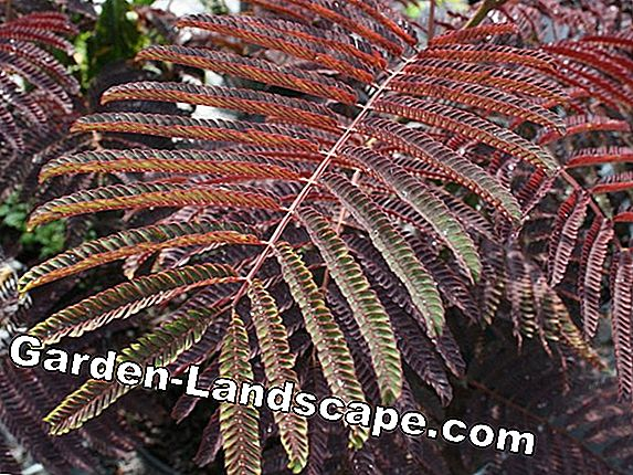 Seidenbaum, Albizia julibrissin - Breeding and Care - Apakah dia kuat?