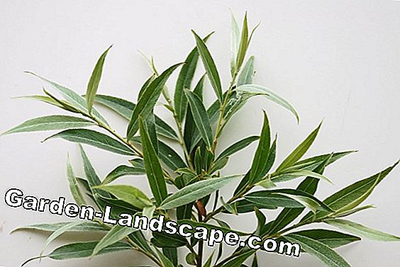Silver Willow, Salix alba - profile, plants and care
