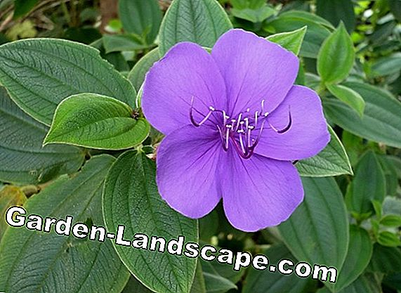 Tibouchina urvilleana - multiply and overwinter