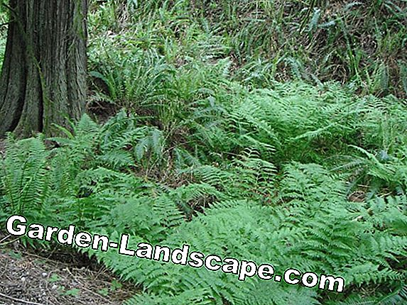 Lady Fern, Forest Fern, Athyrium filix-femina - Nursing Guide