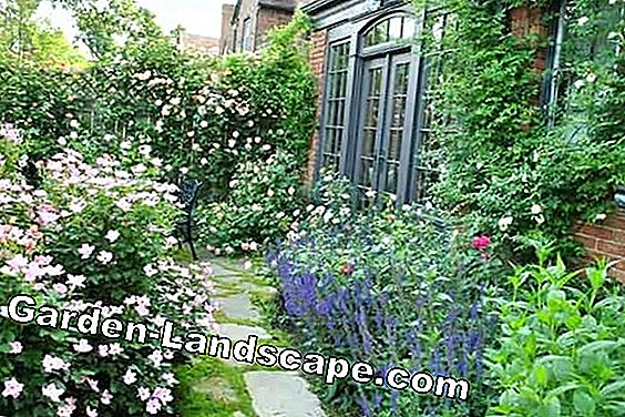 Create wild rose hedge - properly planting and cutting