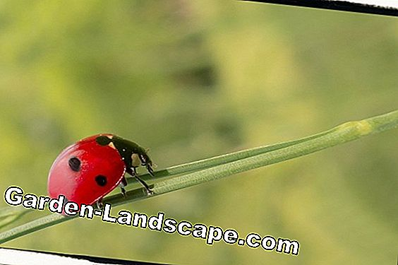 Lure ladybug in the garden - so get the beneficial insect in the garden