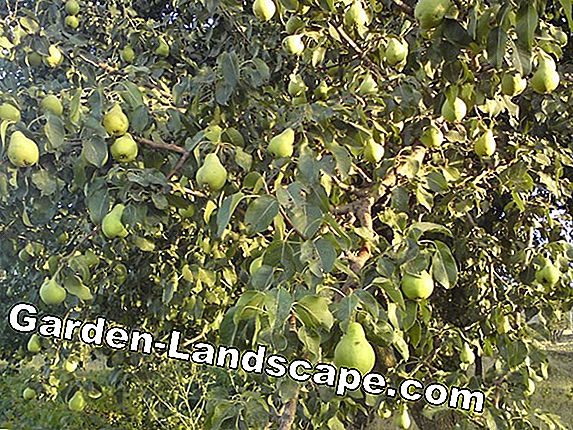 Nashi pear care - tips for pouring, fertilizing, cutting & wintering