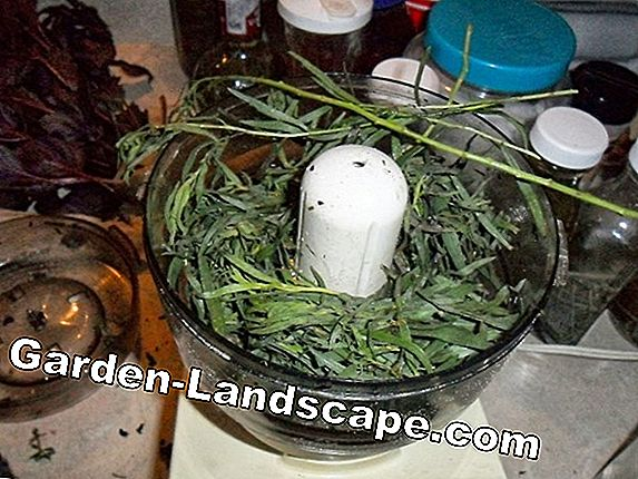 Harvest tarragon and dry: How to prepare your own herb