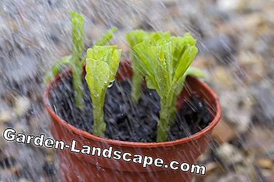 Propagating tarragon: This is how it is possible with cuttings and rhizomes