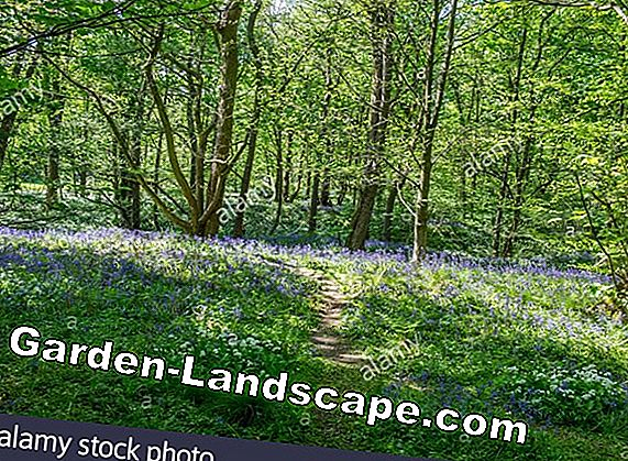 Plant wild garlic - location, care and combination options