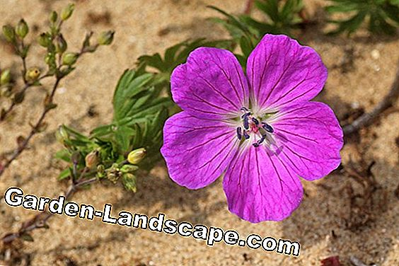 Dune Rose - plants, cultivate and multiply