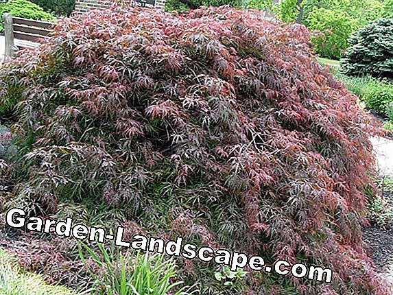 Japanese Maple - Plant, cut and overwinter
