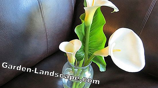 How to multiply calla: How it works by sowing and rhizome division