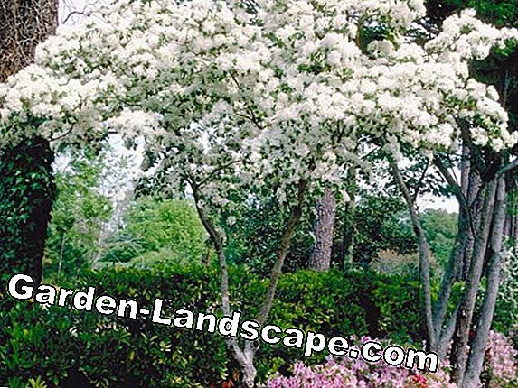 Chinese flower dogwood - planting, grooming and cutting