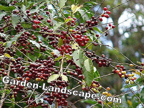 Coffee shrub: It depends on the right location