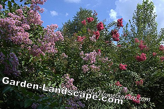Plant crepe myrtle - explained step by step