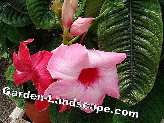 Dipladenia multiply - possibilities and tips for sustainable breeding successes
