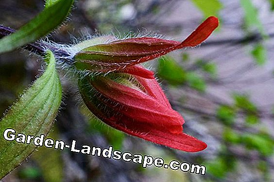 Fern-leaved Larkspur - plants, care and cutting