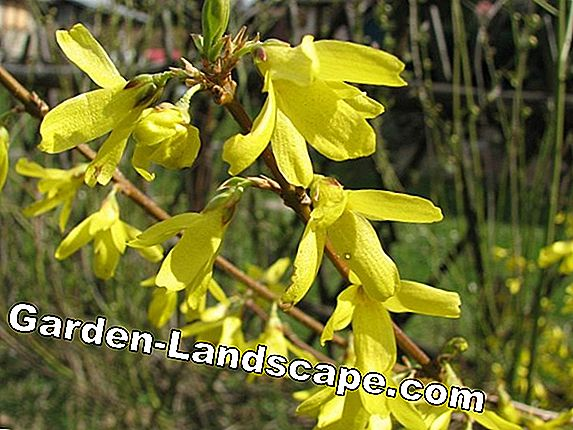 Forsythia - planting, grooming and cutting