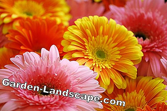 Increase gerbera - How it works by division, sowing and cuttings propagation