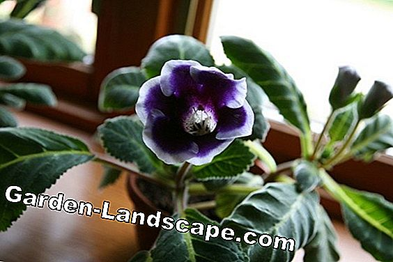 Gloxinia planting - How to grow the house and garden